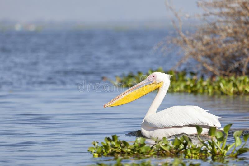 Пеликан на озере Naivasha, Кении стоковые фотографии rf