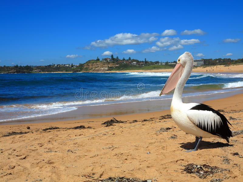 Пеликан на пейзаже пляжа стоковые фото