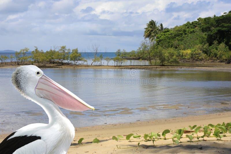 Пеликан на фронте берега Port Douglas стоковые фото