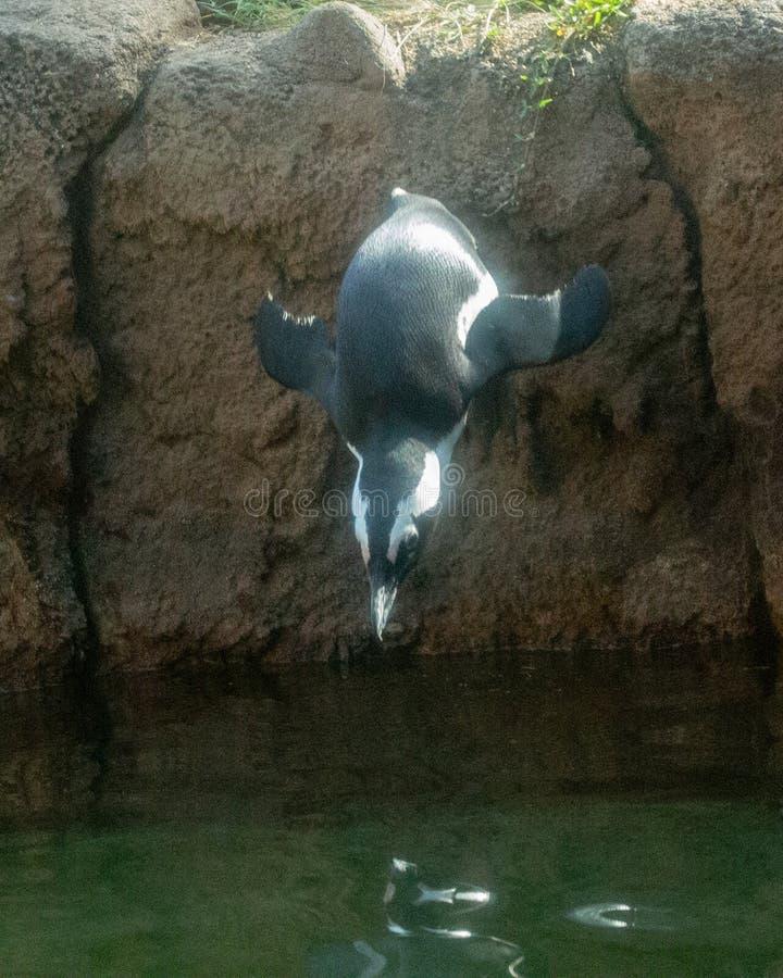 Пикирование пингвина стоковое фото