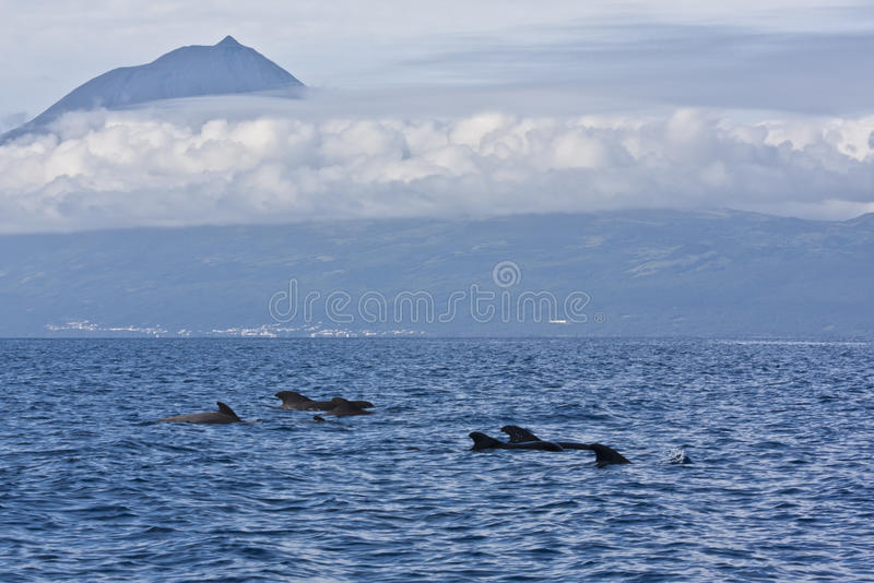 Пилотные киты стоковые фотографии rf