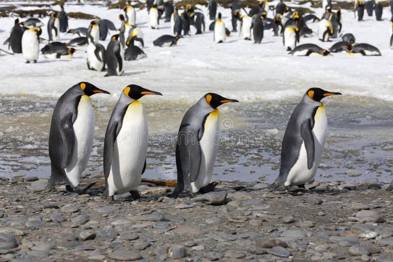 4 пингвина короля идут в ряд на равнину Солсбери на Южной Георгие стоковое фото rf