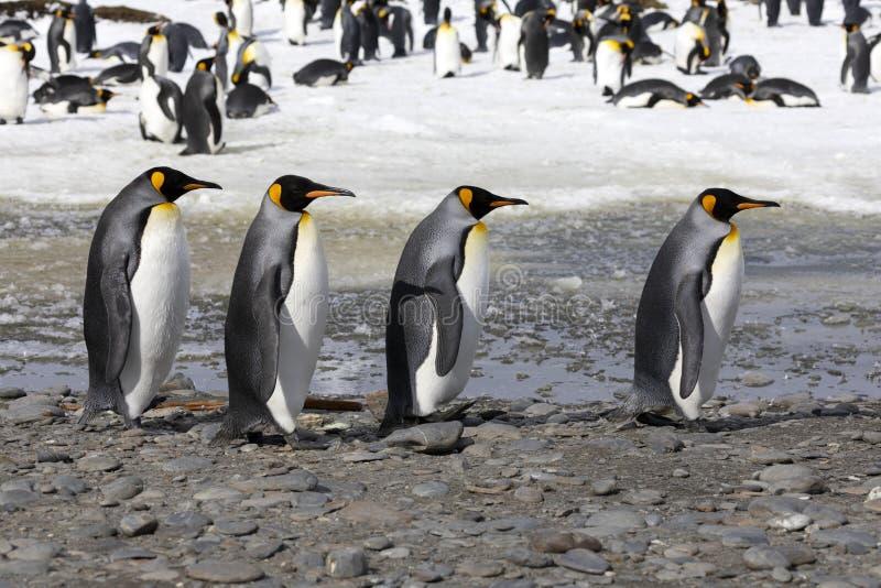 4 пингвина короля идут в ряд на равнину Солсбери на Южной Георгие стоковые фотографии rf