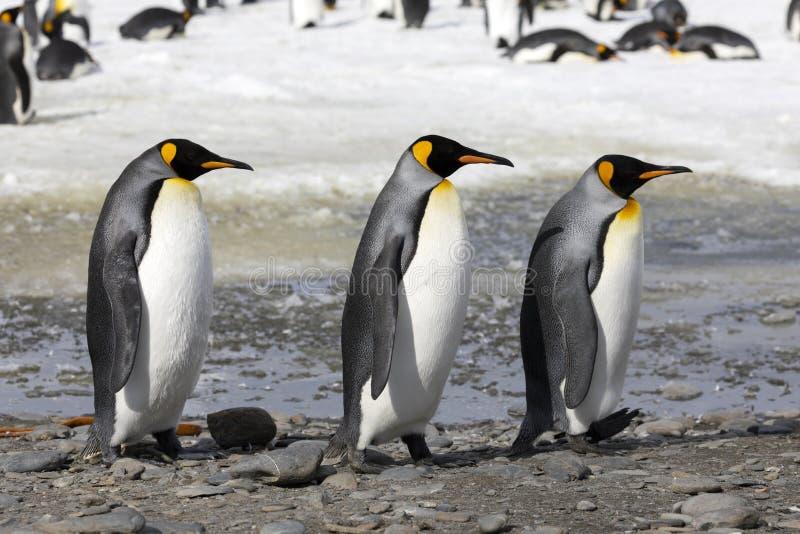 3 пингвина короля идут в ряд на равнину Солсбери на Южной Георгие стоковое изображение