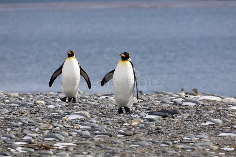 2 пингвина короля идут на Pebble Beach на равнине Солсбери на Южной Георгие стоковые фото