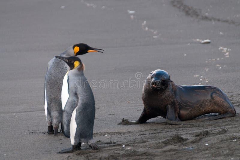 2 пингвина, одно уплотнение стоковое изображение rf