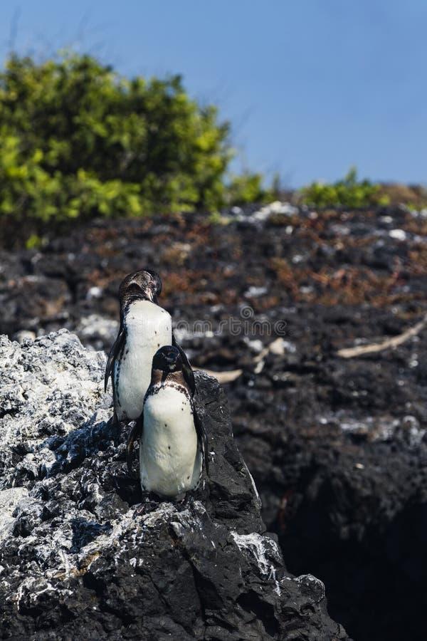 2 пингвина стоя на вулканической породе стоковые изображения rf