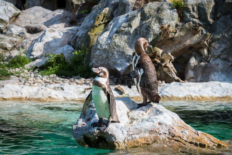 2 пингвина стоя на утесе стоковая фотография rf