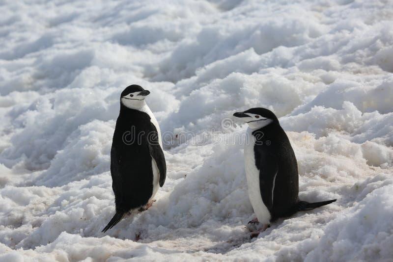 2 пингвина Chinstrap в Антарктике стоковое изображение