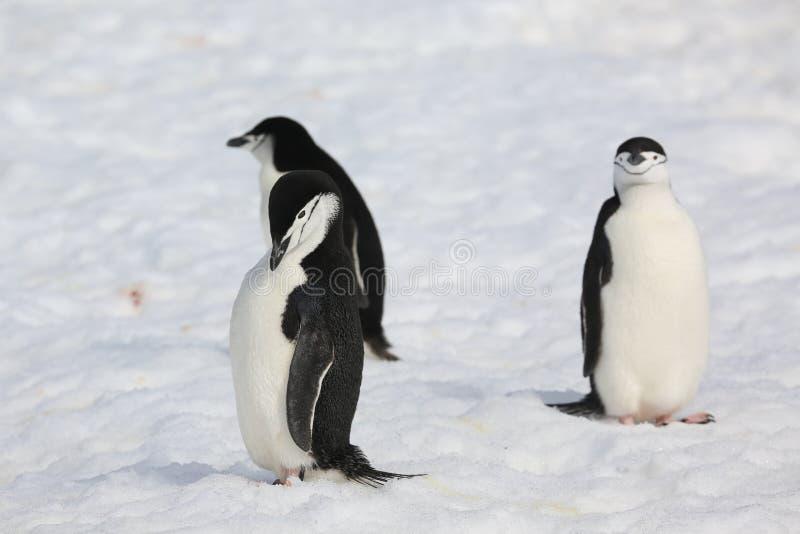 3 пингвина Chinstrap в Антарктике стоковое фото rf