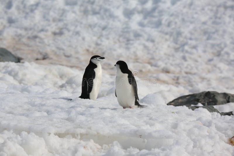 2 пингвина Chinstrap в Антарктике стоковые изображения rf