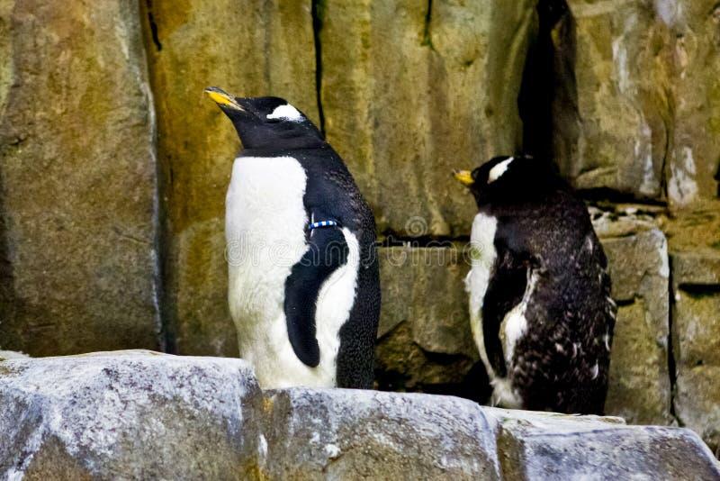 пингвины аквариума стоковая фотография rf