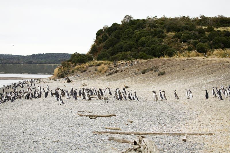 пингвины Аргентины стоковые изображения rf