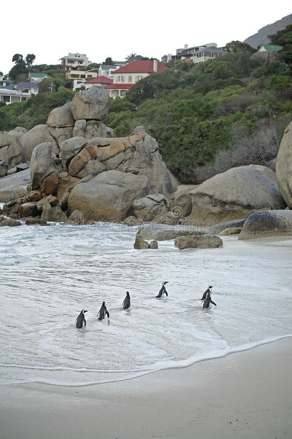 пингвины валунов пляжа стоковая фотография