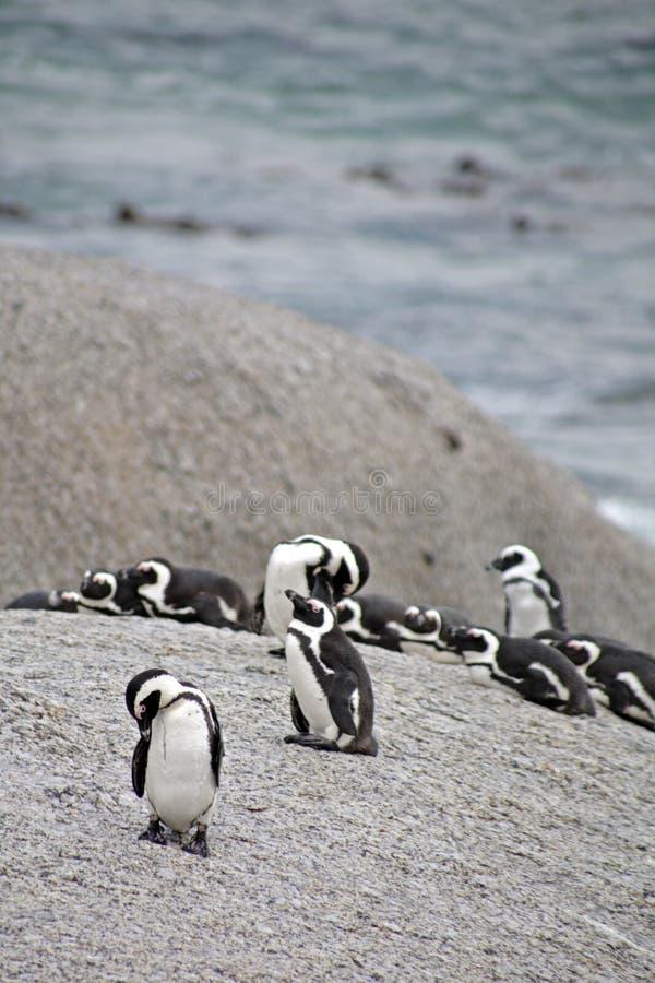 пингвины валунов пляжа стоковое изображение rf