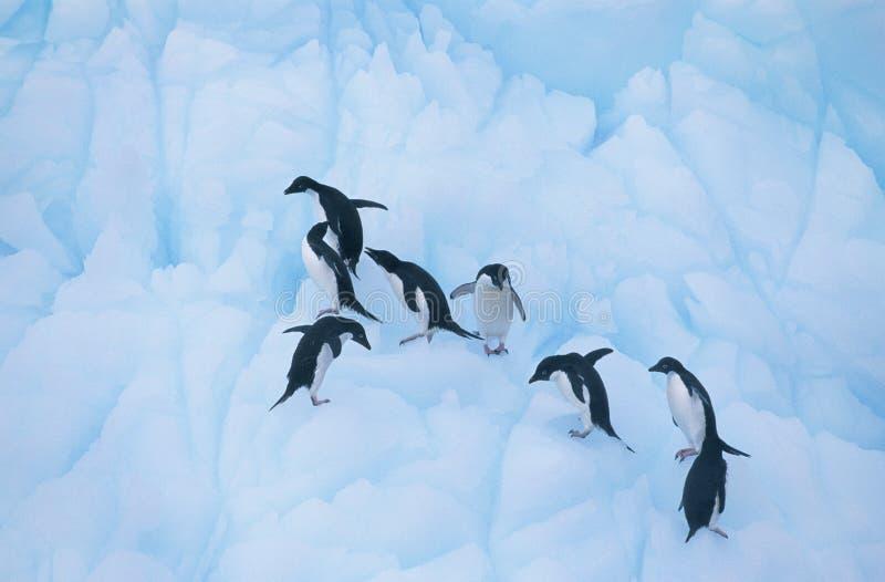 Пингвины взбираясь на льде стоковые изображения rf