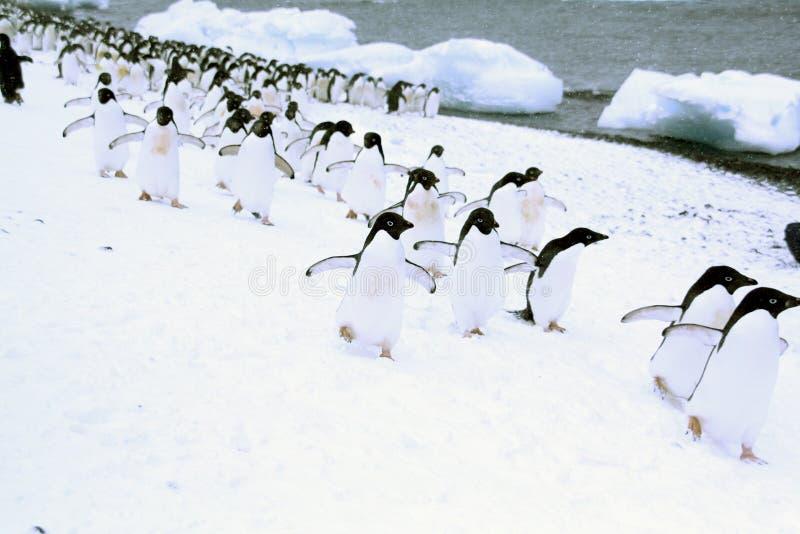 пингвины в марше стоковые фото