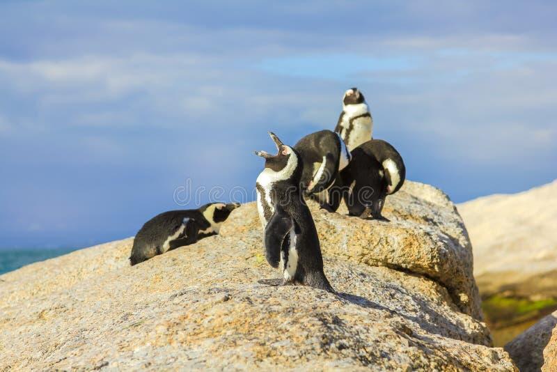 Пингвины в пляже Больдэра стоковое фото