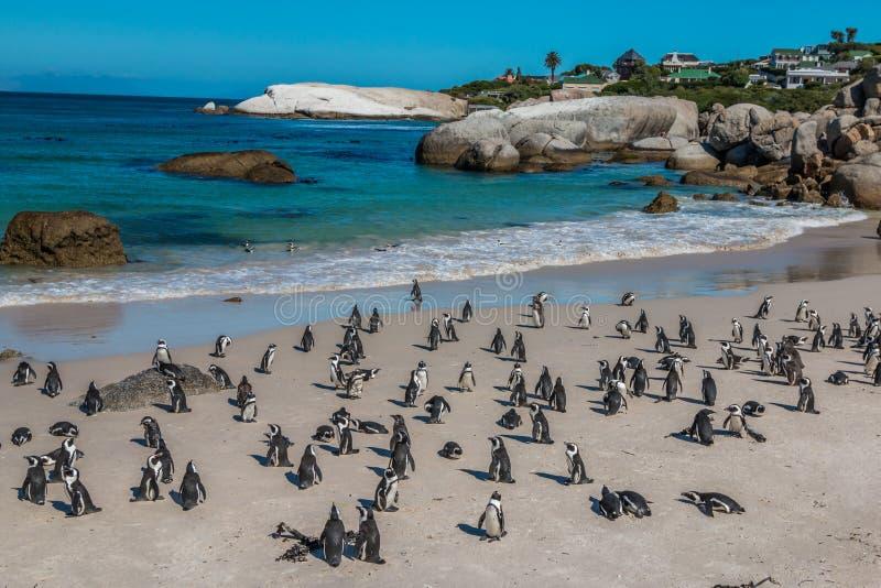 Пингвины в пляже Южной Африке валунов стоковое изображение rf