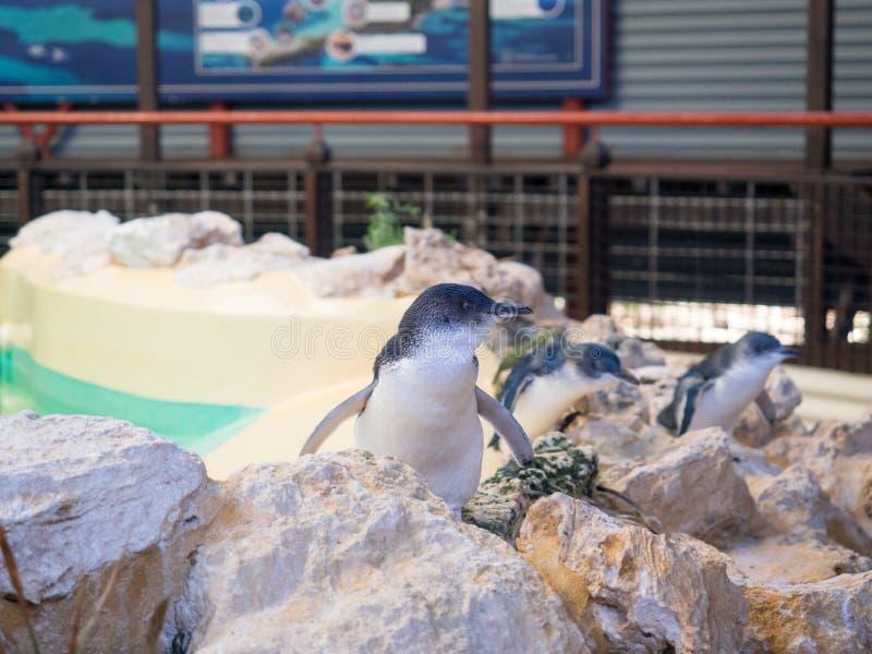 Пингвины в центре открытия, острове пингвина, западной Австралии стоковые изображения