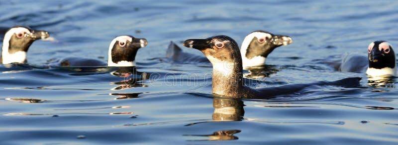 Пингвины заплывания стоковые фотографии rf