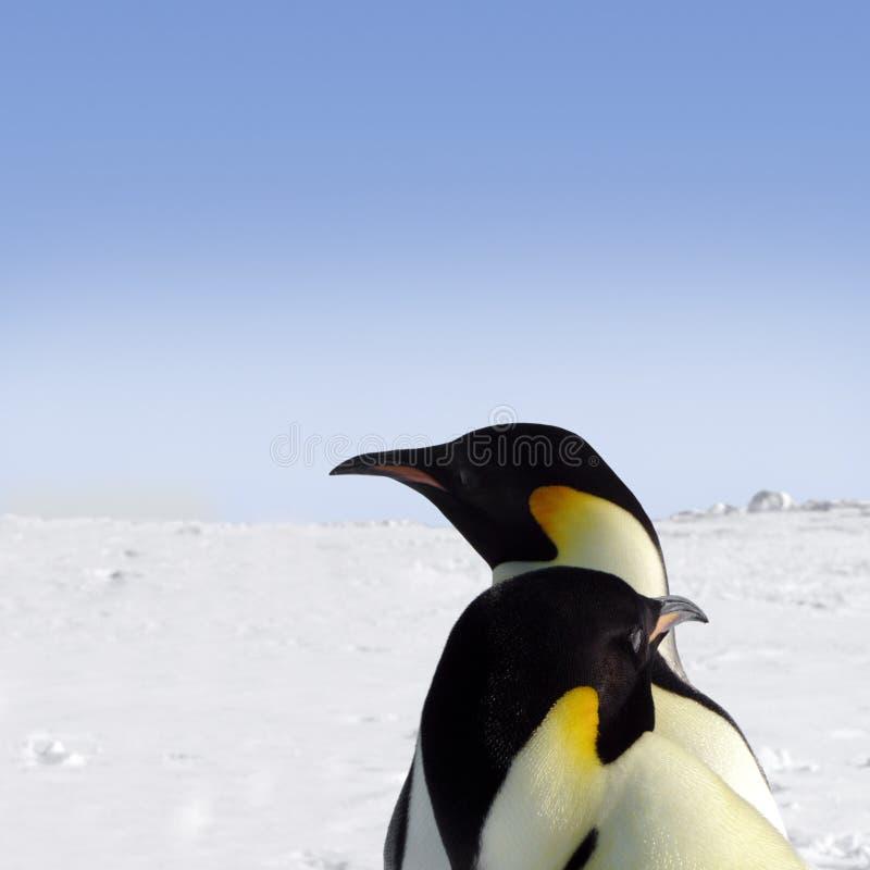пингвины императора 2 стоковое фото rf