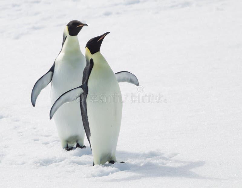 Пингвины императора стоковые фотографии rf