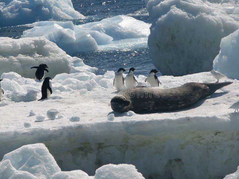 Пингвины и уплотнение леопарда стоковое фото rf