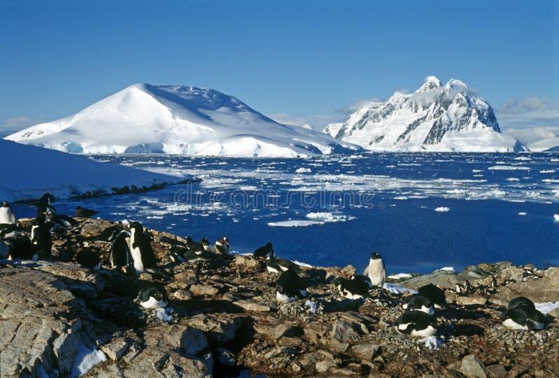 пингвины колонии стоковое фото rf