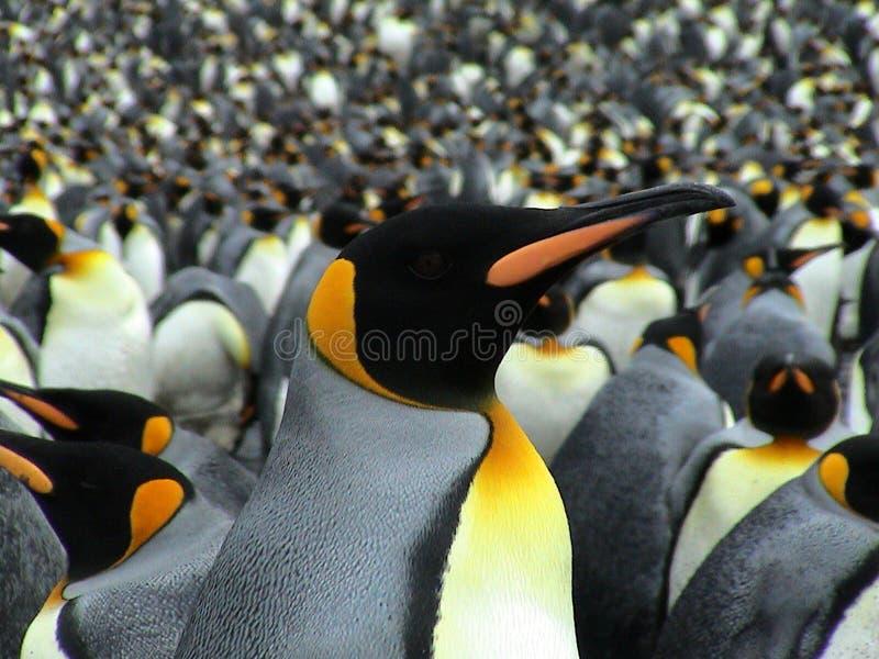 пингвины королей стоковые изображения rf