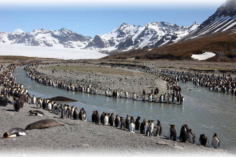 пингвины короля колонии стоковые изображения