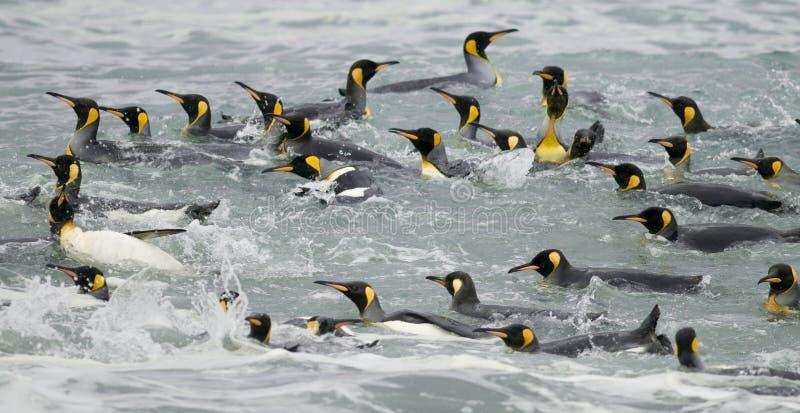 пингвины короля плавая волны стоковые фото