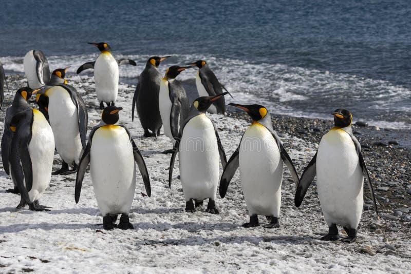 Пингвины короля waddle вне к морю на пляже на равнине Солсбери на Южной Георгие стоковые изображения rf