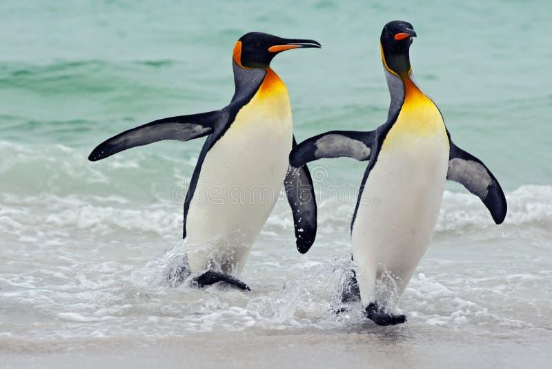 Пингвины короля идя от открытого моря, Атлантического океана в острове Falkland Птица моря в среду обитания природы Пингвины в во стоковые изображения rf