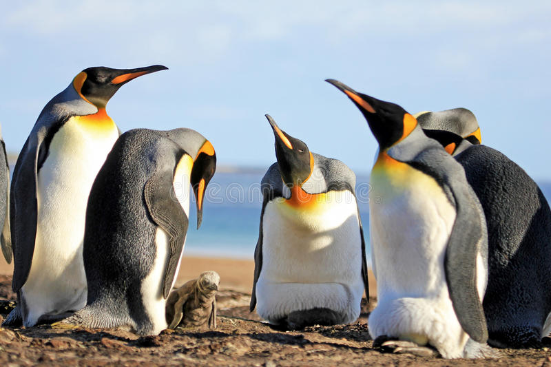 Пингвины короля с цыпленоком, patagonicus aptenodytes, Saunders, Фолклендскими островами стоковые изображения