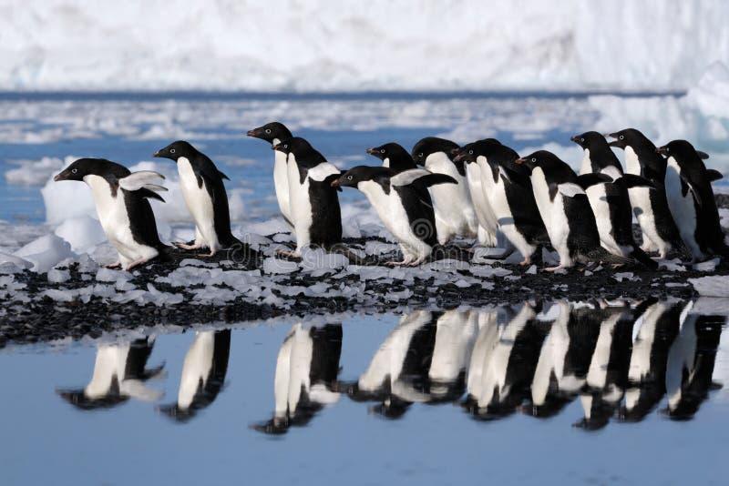 пингвины лож объявления стоковые изображения