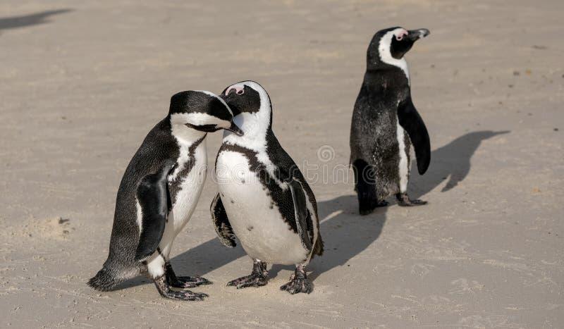 Пингвины на валунах приставают к берегу в Simonstown, Кейптауне в Южной Афр стоковое изображение rf