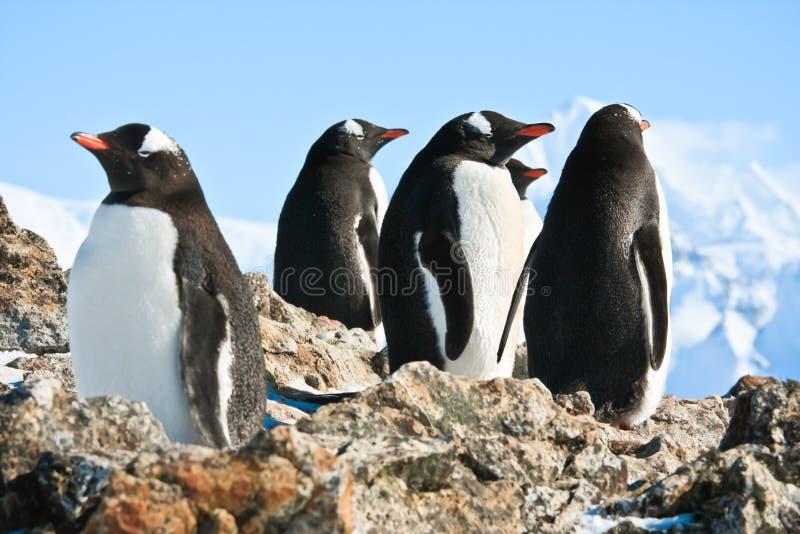 Пингвины на утесе стоковые фото