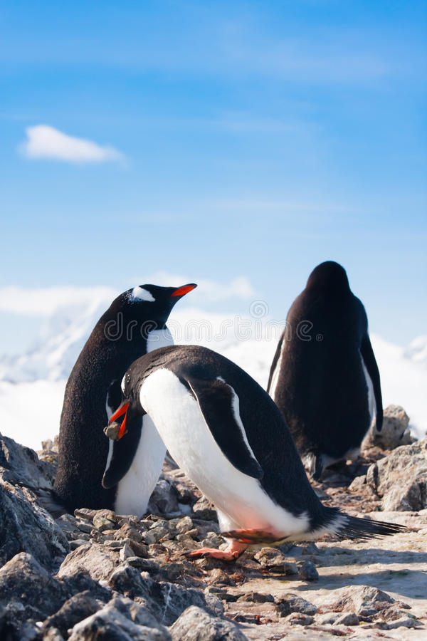 Пингвины на утесе стоковое фото rf