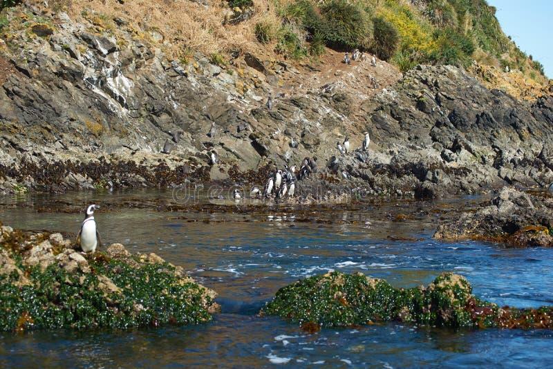 Пингвины на Chiloé стоковое изображение rf