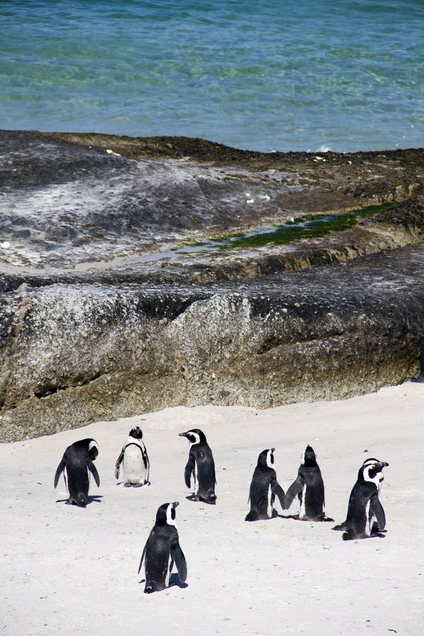 пингвины плащи-накидк валунов пляжа стоковое изображение