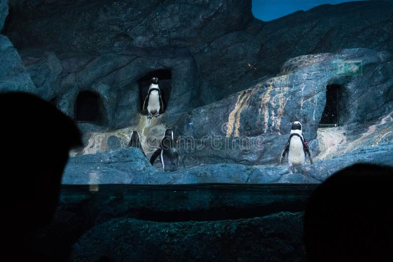 Пингвины показывают в аквариуме на городе Таиланде Бангкока стоковое изображение rf