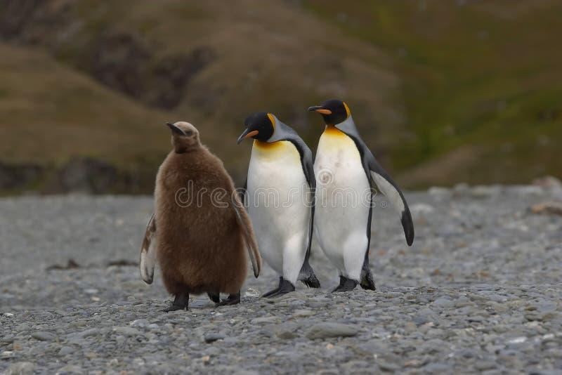 пингвины семьи стоковое изображение rf