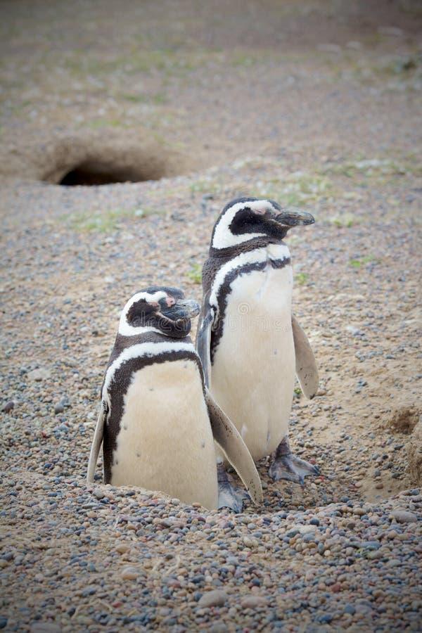 пингвины 2 гнездя стоковое изображение