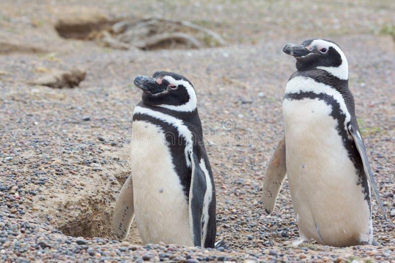 пингвины 2 гнездя стоковые изображения