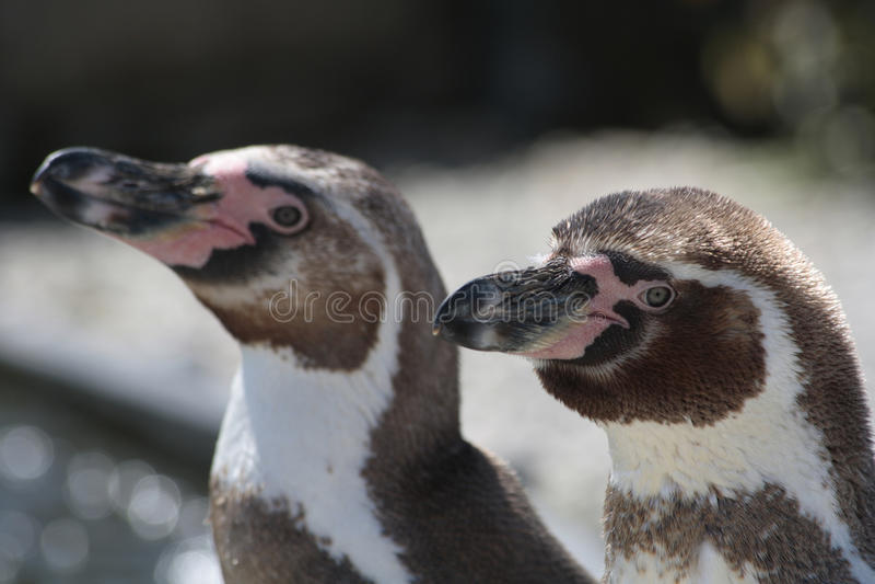 пингвины 2 стоковое фото