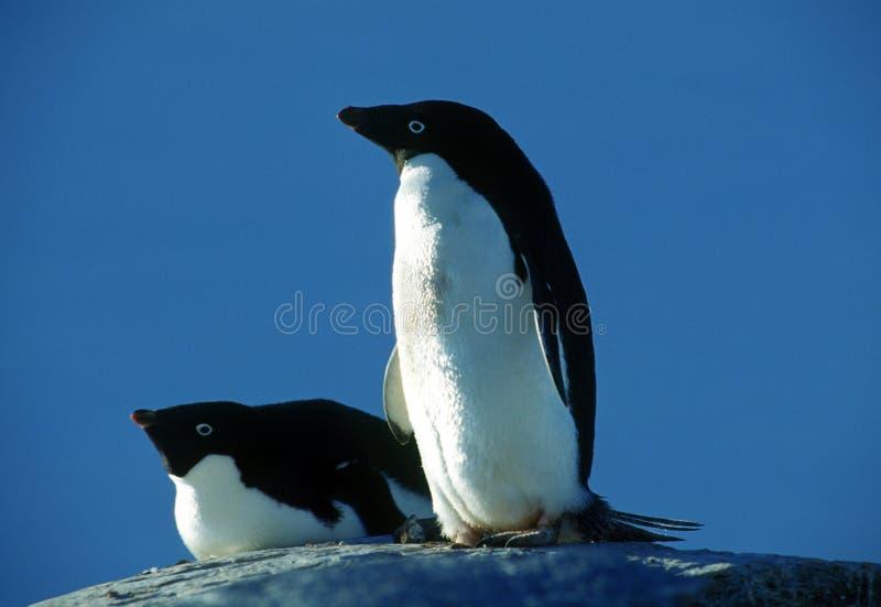 пингвины 2 adelie стоковое изображение rf
