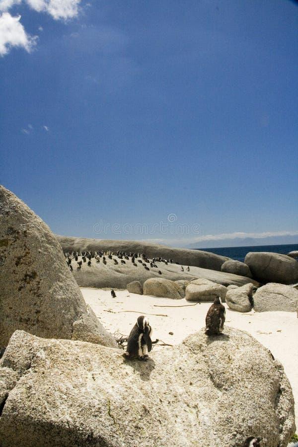 пингвины стоковые фотографии rf
