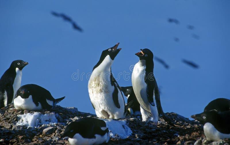 пингвины adelie стоковые изображения rf