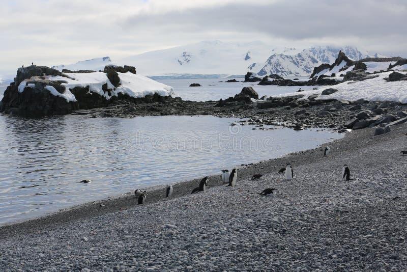 Пингвины Chinstrap в Антарктике стоковые фото